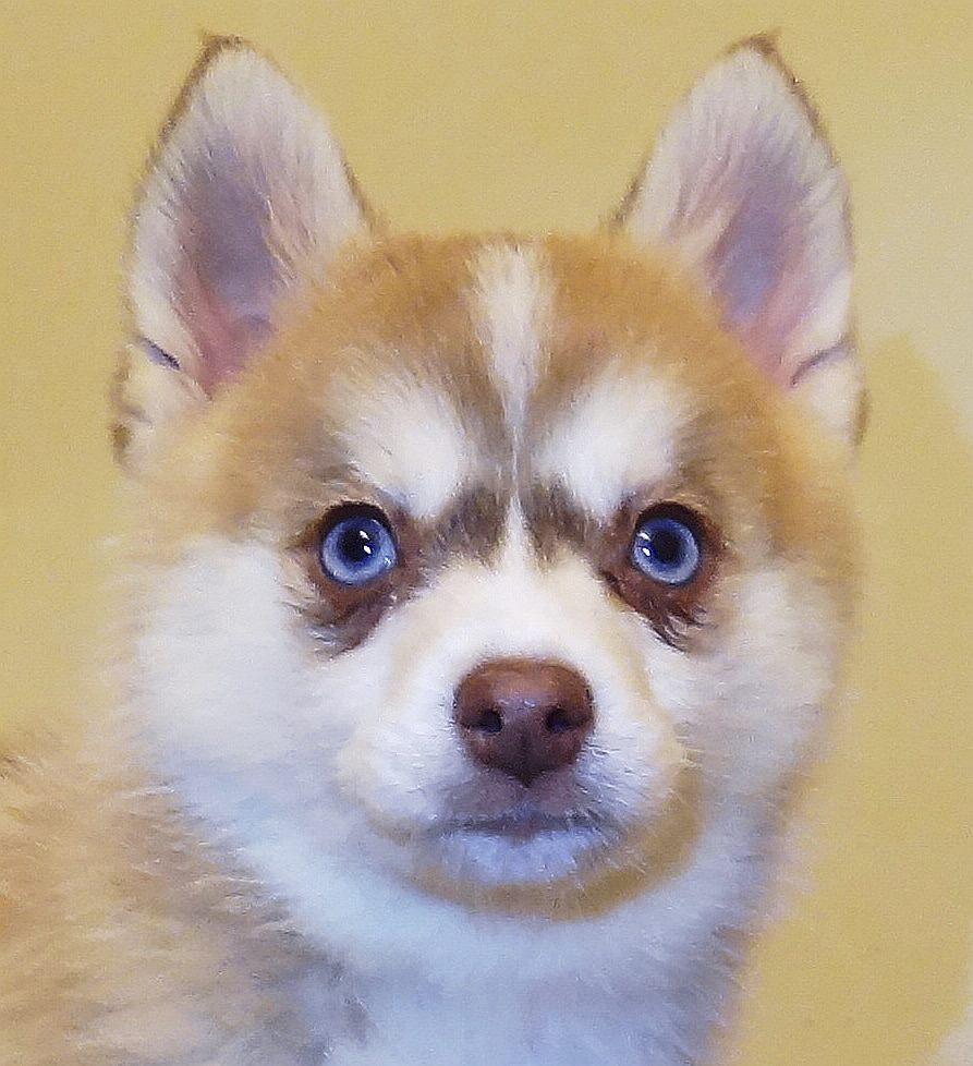 husky puppies pomeranian - photo #11