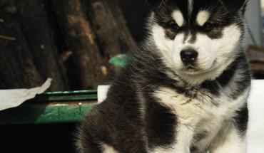 Siberian Husky Grey and White