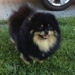 Pomeranian-female-Betty