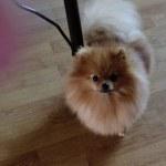 female-Pomeranian---Yarburg-Sivilia