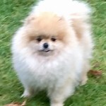 pom girl pomeranian puppy cream