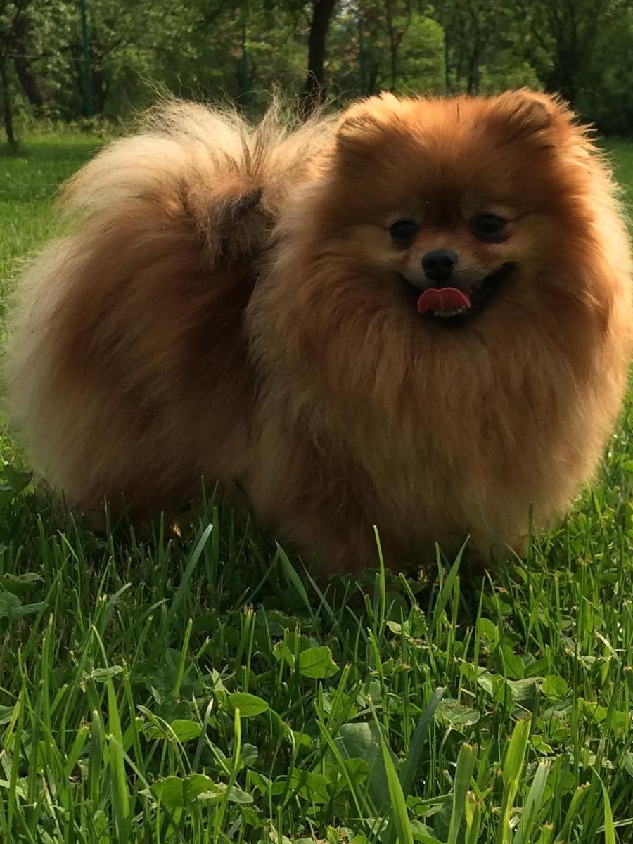 Bonitka - Pomeranian (5)