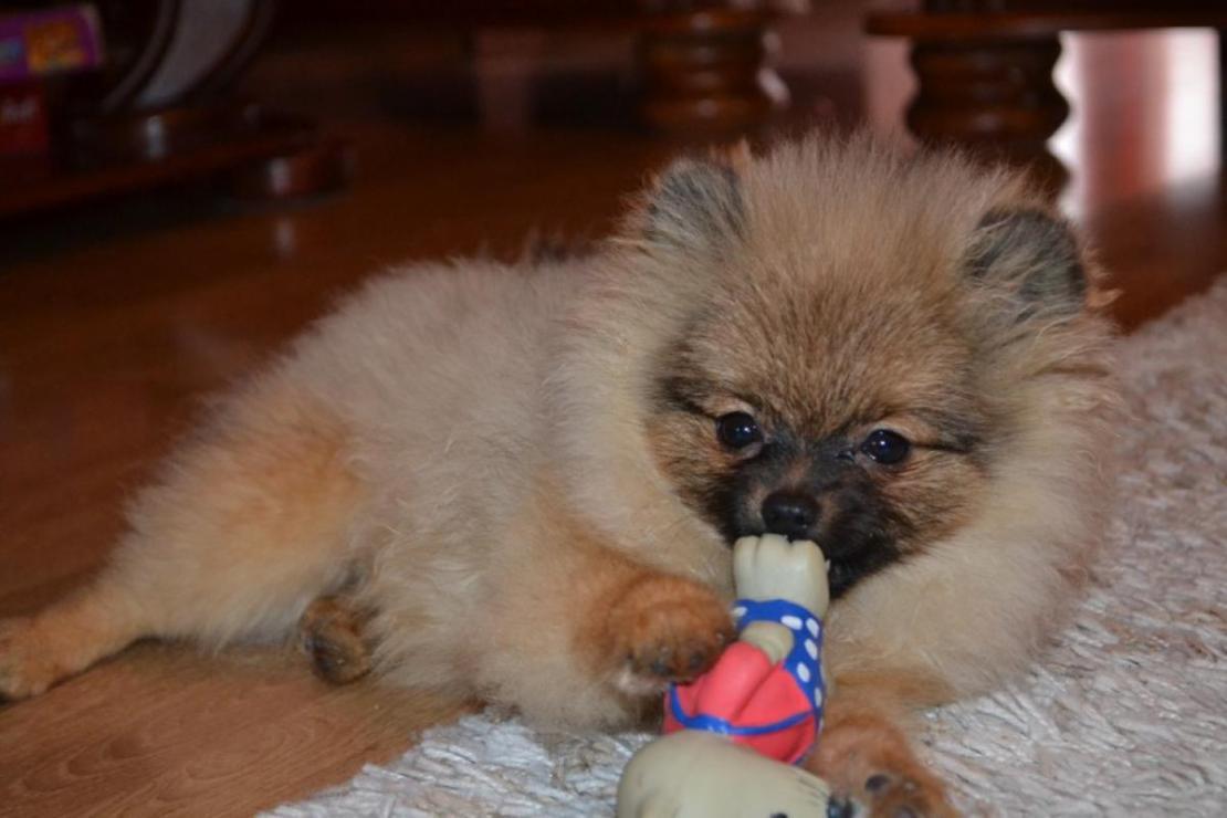 Molly - Pomeranian