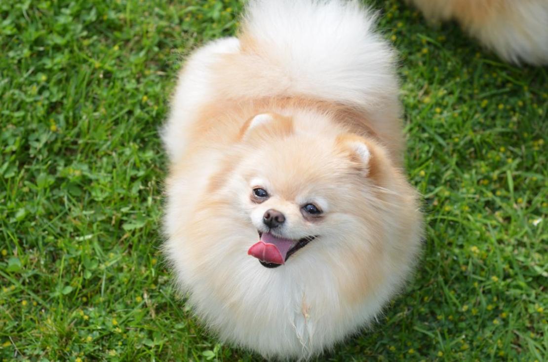 Pomeranian female Elinka