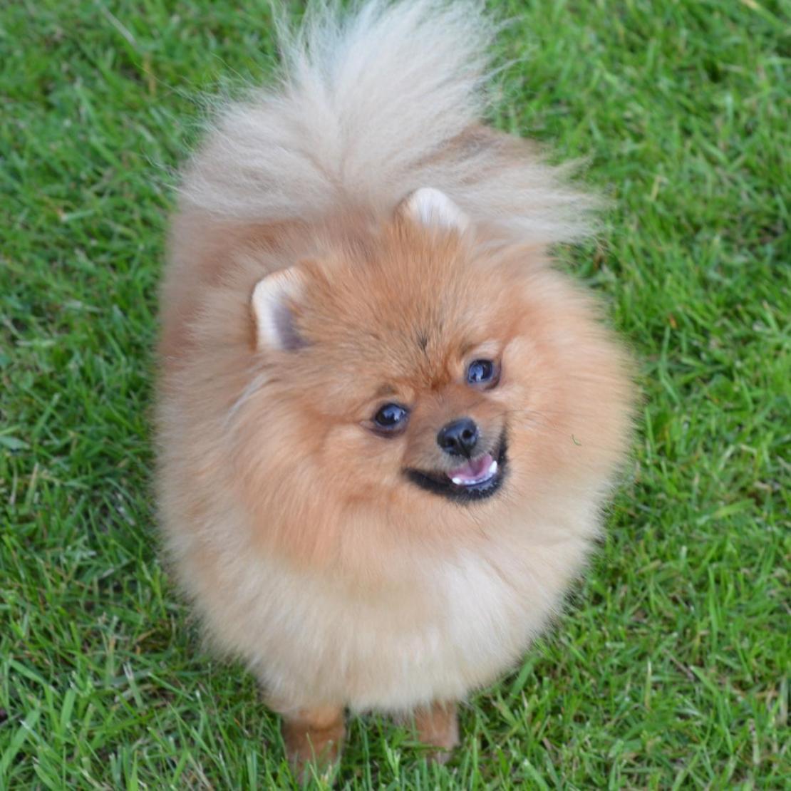 Pomeranian Engie (4)