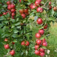 Pomi fructiferi de vanzare