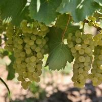 Vând struguri de vin, fetească albă și regală calitate superioară