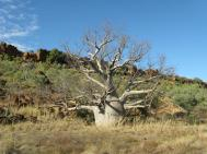 Gregory NP Boab country