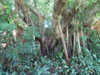 Can you see Jack in the fig tree?