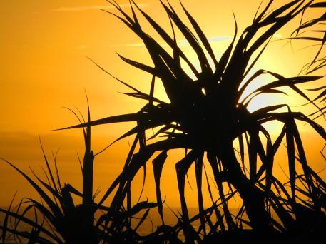 Pandanus sunrise silhoette