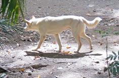 Albino Dingo