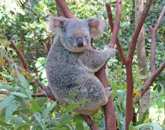 Another Koala