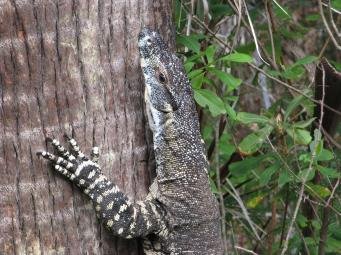 Goanna blends into the tree trunk