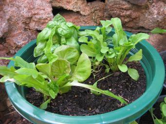 More lettuce in a pot