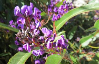 Hardenbergia the delightful pea shaped Australian native the sign of spring.