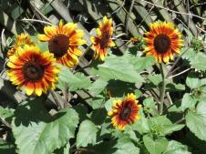 sunflowers and rain pc 002_4000x3000
