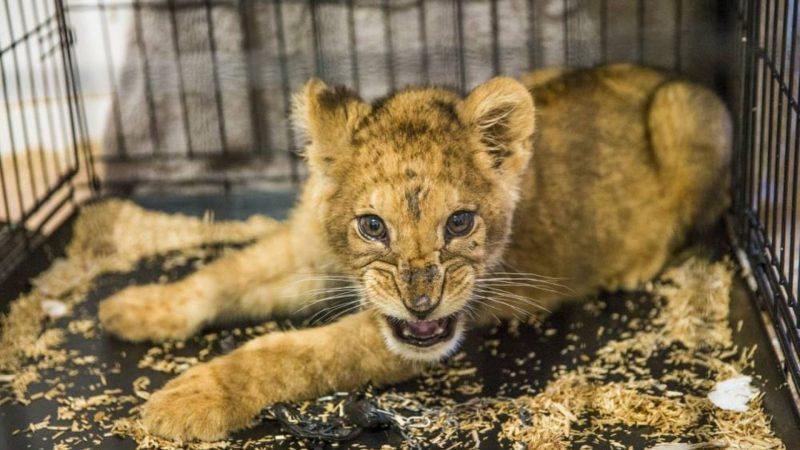 Un lionceau sauvé dans un appartement relâché dans une réserve en Afrique-du-Sud