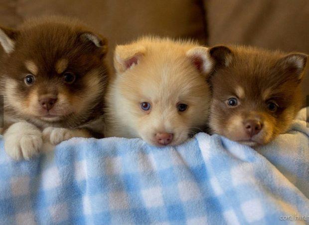 Three cute pomsky puppies