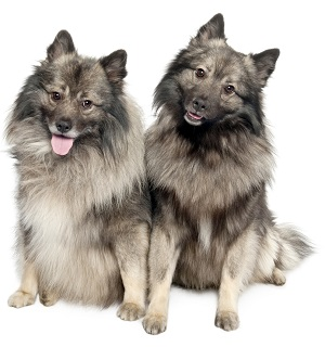 Pair of Keeshond brothers