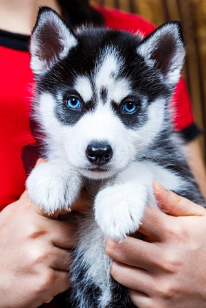 Miniature Husky puppy with Blue eyes