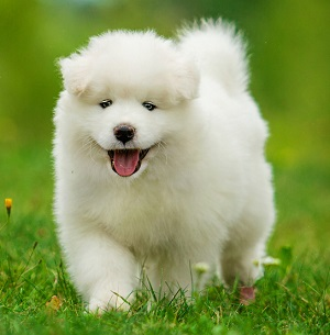 Samoyed puppy walking through the grass