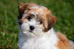 Teddy Bear Dog with a cute face brown hair and white