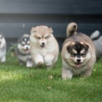 Pomsky Puppies For Sale In Ny