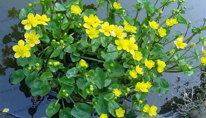 Best Plants Koi Pond