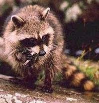 The common Raccoon has been known to snag a fish or two.