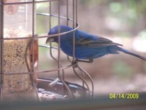Blue Bird on Feeder