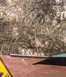 Heron on the shed roof
