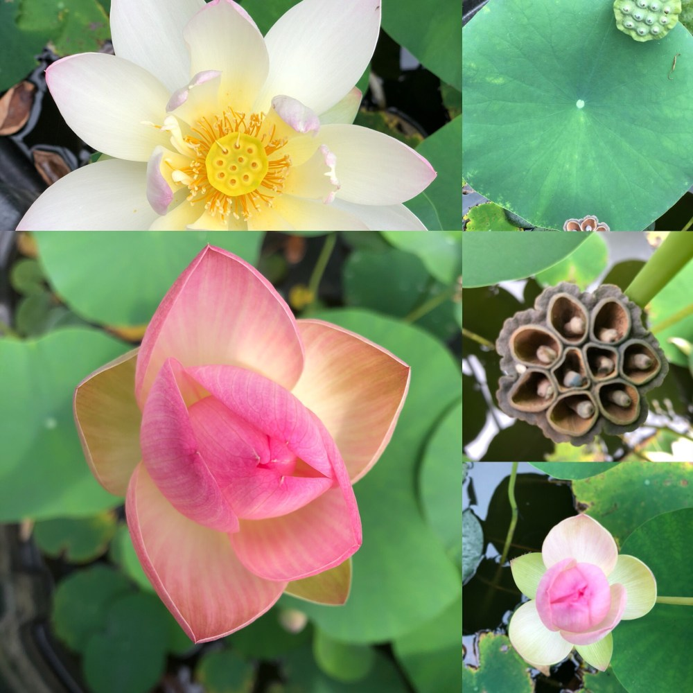 Lotus Plants for Sale on the farm