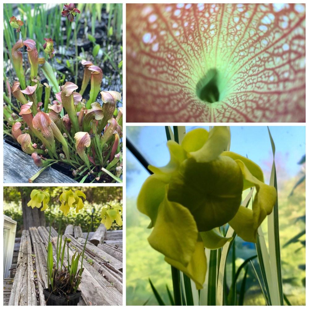 Aquatic Plants and Fish for Sale, Carnivorous Plants, Bog Plantings