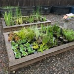 aquatic plants and fish for ponds