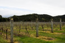 Hibernating vines at Passage Rock Vineyard. © Violet Acevedo