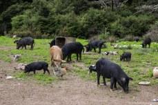 The pigs of Coromandel. © Violet Acevedo