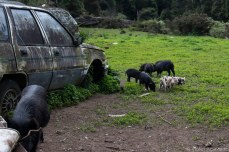 There are many families of pigs in the area. © Violet Acevedo