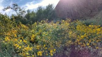 Papago Park, Arizona, wildflowers