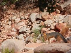 Havasupai Indian Tribe, Havasupai Falls, Havasu Creek, fox