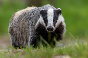 badgers in pondhead