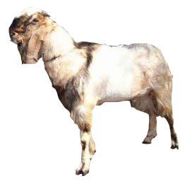 ilustrasi hewan kurban kambing jantan