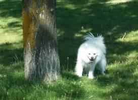 Kenai...a mini American Eskimo that certainly knows her own mind. And smiles...