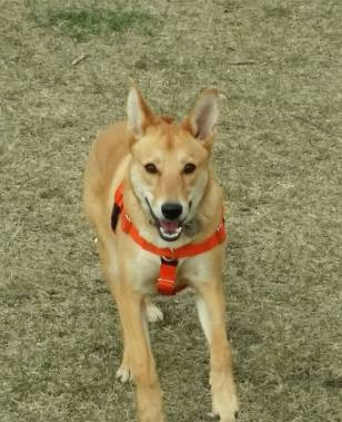 Kira...A lovely and foxy Canis Africanis