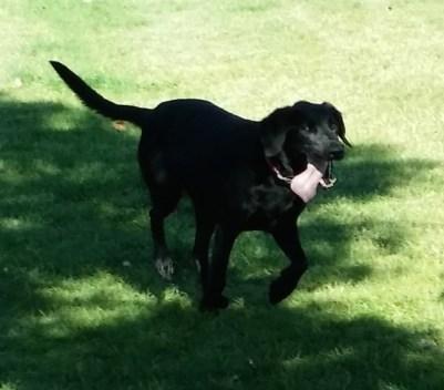 Zena...a happy Black Labrador cross