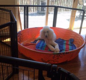 One of our poodle puppies for sale in Atlanta, GA