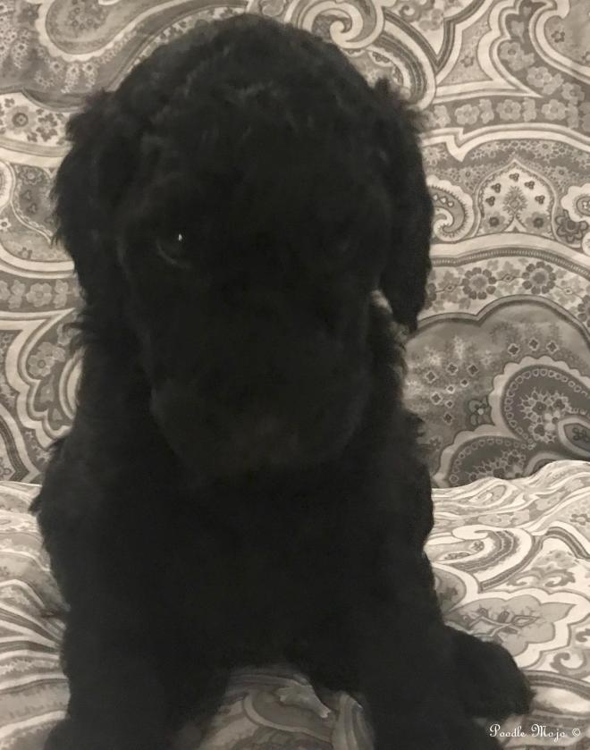 Standard Poodle Puppy