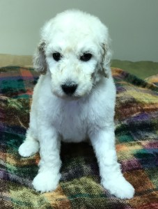 Parsley- White Standard Poodle