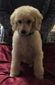 Poppy - White Standard Poodle