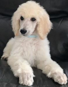 Coriander - White Standard Poodle