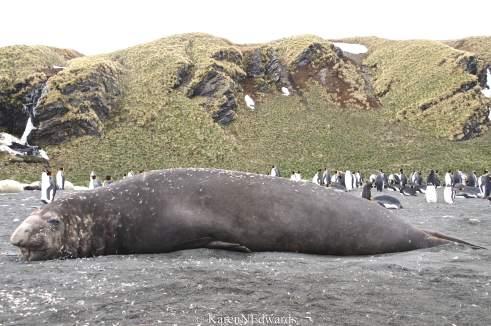 Adult male Elephant seal